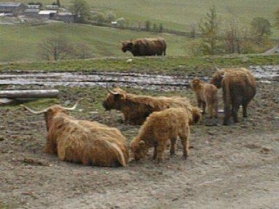 Highland_cattle